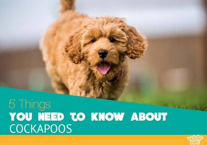5 things you need to know about cockapoos woof dog