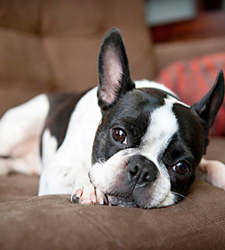Boston Terrier lying on couch