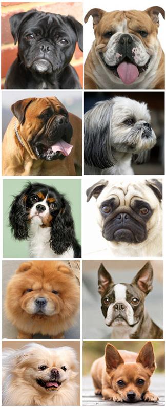 Image of brachycephalic dog breeds