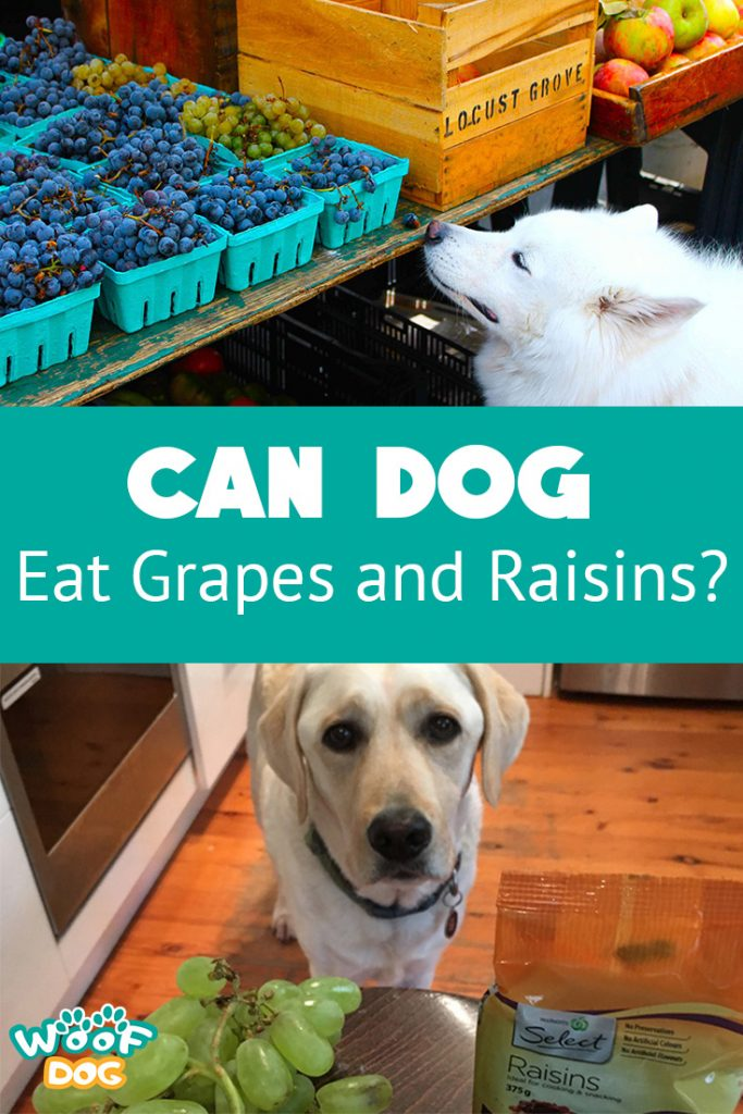 can dog eat grapes and raisins - infographic