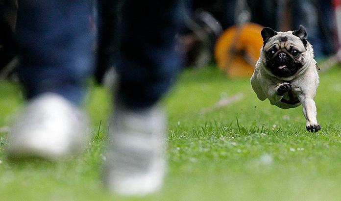 pugs running behind owner