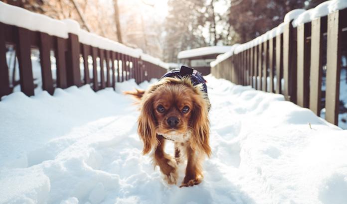 king charles cavalier walking in the snow