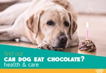 can dog eat chocolate