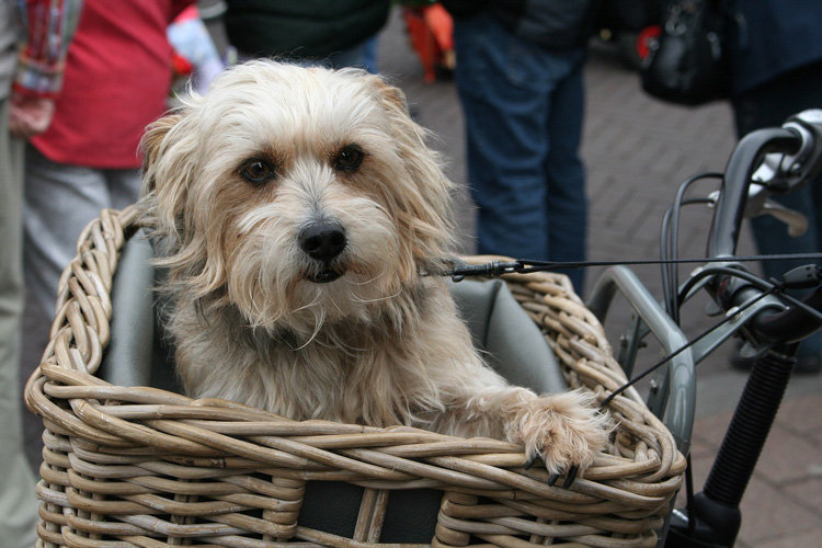 Dog riding in bicycle basket