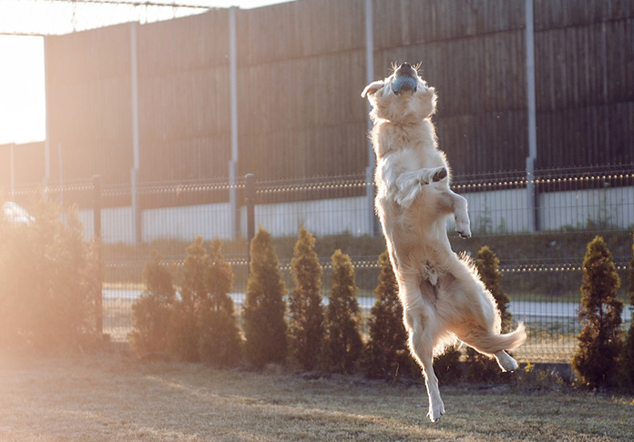 Golden Retriever Playing and Jumping