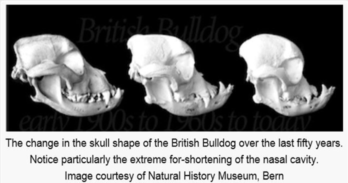 british bulldog skull