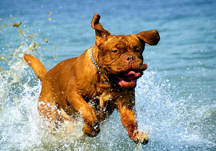Mastiff running through the water