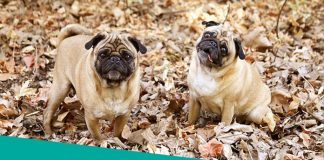 Two Pugs Flat Faced Dogs