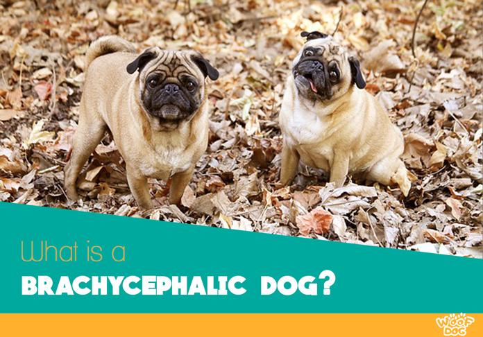 Taste Of The Wild Dog Food Reviews >> Brachycephaly in Dogs: Health Issues for Brachycephalic ...
