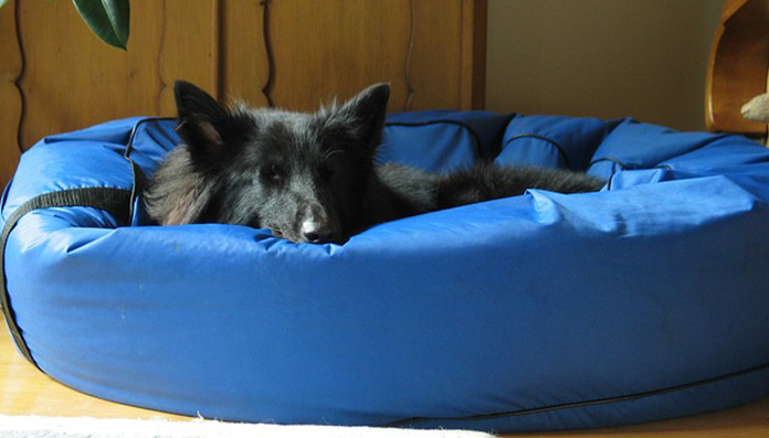 pup in blue bed