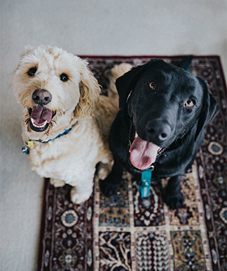 two dogs looking at camera
