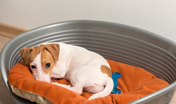Jack Russell Terrier Lying On Bed