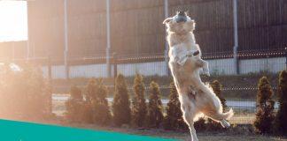 Retriever catching a ball
