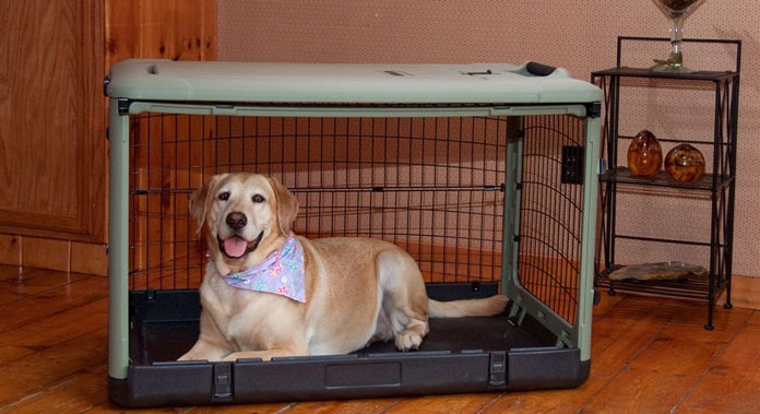 Labrador in large crate at home looking at the camera