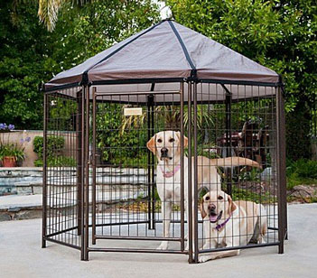 Labradors Retrievers in kennel