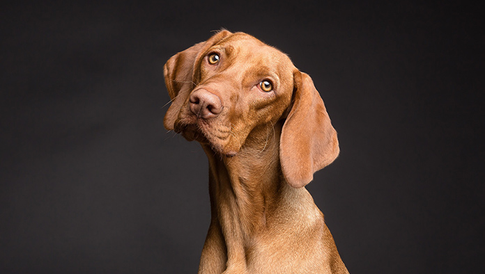 image of cute vizsla