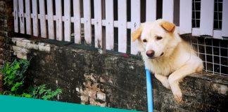 Golden Retriever RunningThrough A Fence