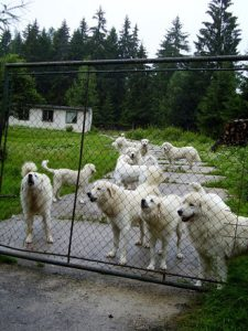 White Dogs Behind The Fence