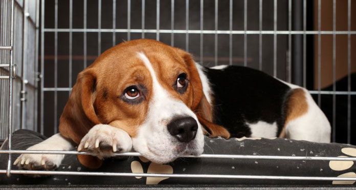 image of Beagle in crate