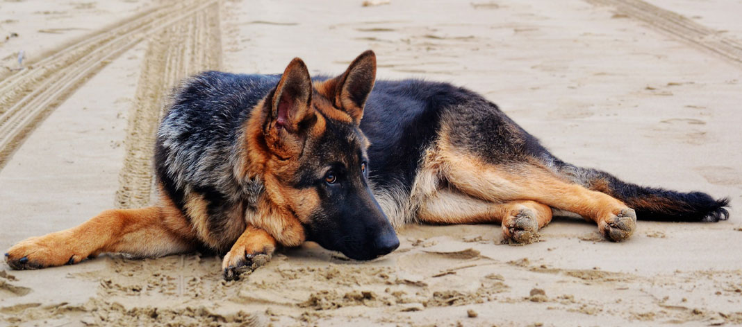 German Shepherd on a sandy beach