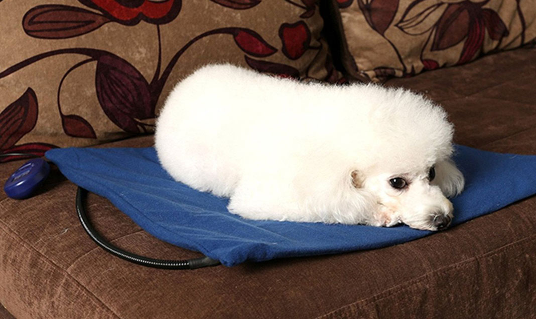 poodle lying on a Heating Pad