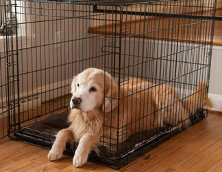 Puppy labrador lies in crate