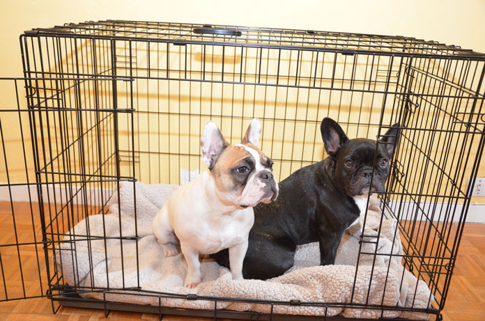Two french bulldogs in wire crate