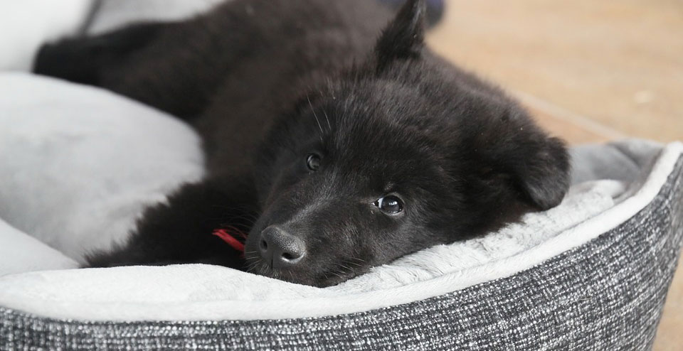 cute black puppy in bed
