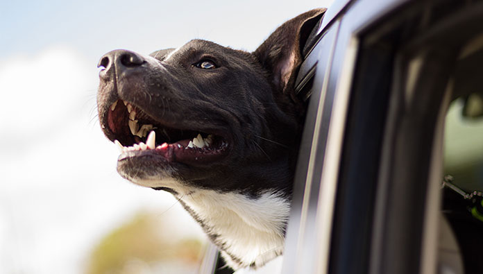 dog puts his head on the car window