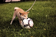 little dog is playing with a sport ball