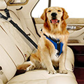 Golden Retriever with Seat Belt