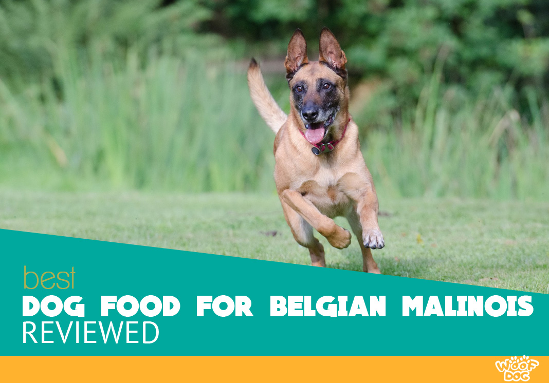 Featured Image of Belgian Malinois running in grass