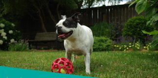 Featured Image of Boston Terrier playing in grass