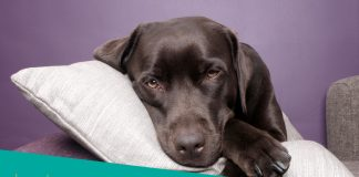 Featured Image of sick and sad dog lying on pillow