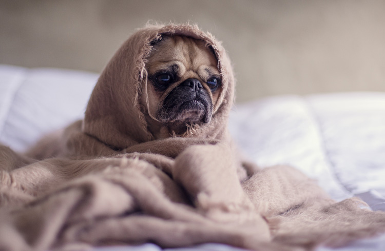 Image of dog covered with blanket