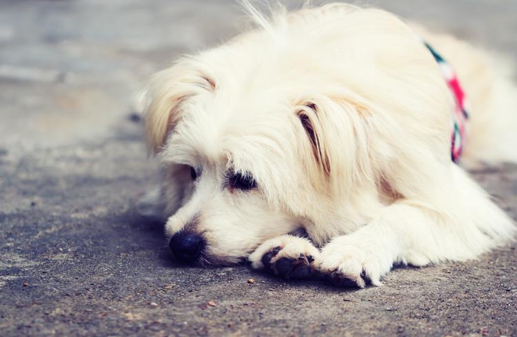 Image of white sad dog lying down