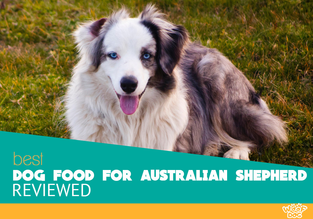 image of beautiful Australian Shepherd lying on the grass