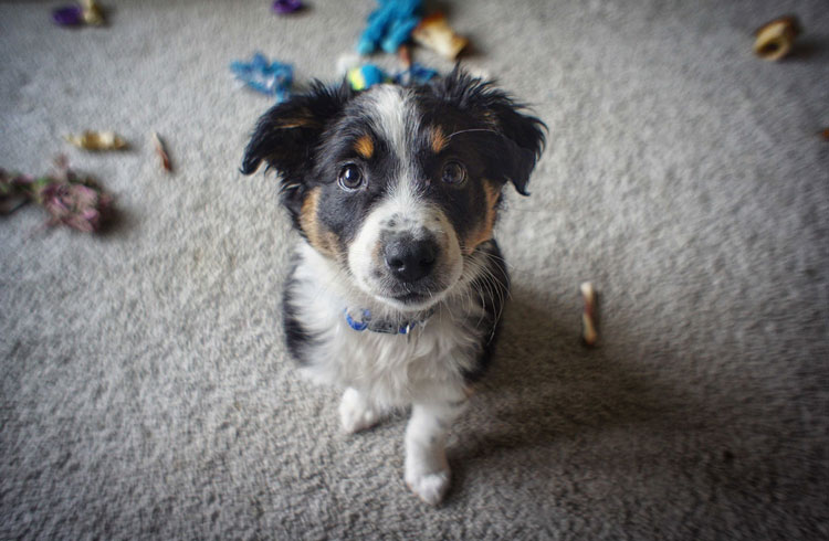 image of cute australian shepherd puppy