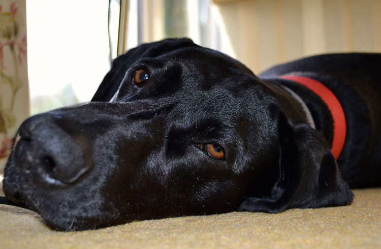image of sleepy black dog