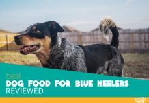 Featured Image of adult blue heeler in backyard