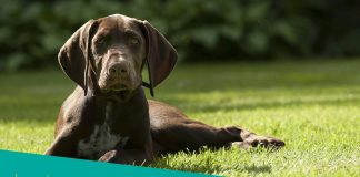 Featured Image of brown German Shorthaired Pointer canine resting in grass