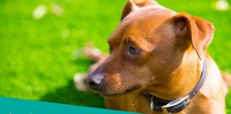 Featured Image of miniature pinscher with necklace lying in grass