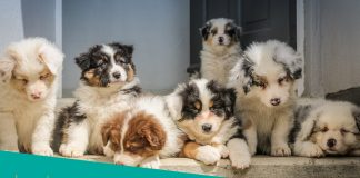 Featured image of Australian Shepherd puppies on the porch