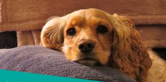 Featured image of Cocker Spaniel lying on soft pillow