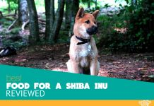 Featured image of Shiba Inu in forest
