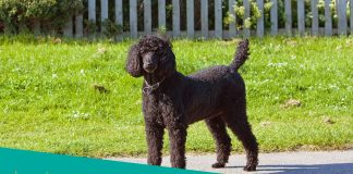 Featured image of black standard poodle standing proud