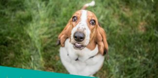 Featured image of cute and confused basset hound