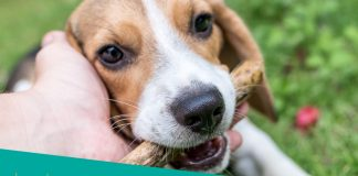 Featured image of playful beagle dog with owner