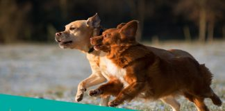 Featured image of two fast adult dogs