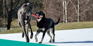 Featured image of two giant dogs at the park